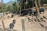 Cochons noirs corses AOC porcu nustrale