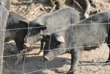 Elevage cochons noirs corses