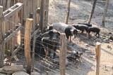 Eleveur cochon noir corse
