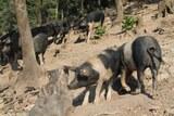 Eleveur cochons corses AOC porcu nustrale