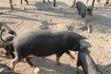 Porcu nustrale