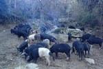 Porcu nustrale loreto di casinca francois albertini allevu porcu cappusgiu