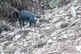 Cochon corse nebbiu