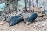 Elevage cochons corses
