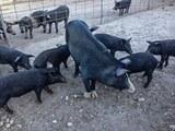 Cochons corse charcuterie artisanale