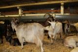 chèvres alpines haute corse