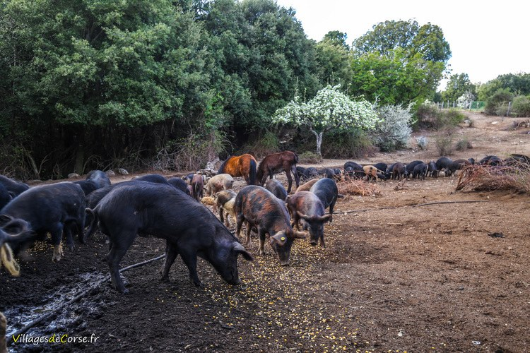 Elevage cochons san larenzu