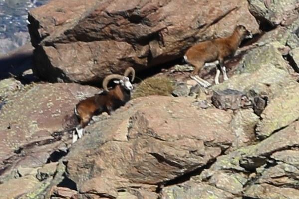 Le Mouflon en Corse