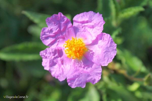 Ciste à fleurs roses de Corse