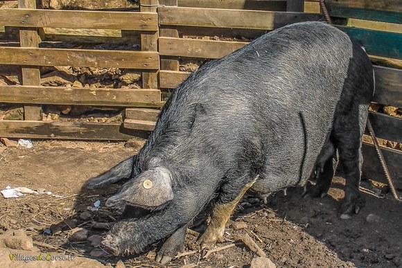 Cochon corse de race porcu nustrale