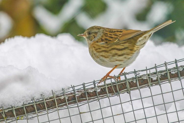 Accenteur mouchet neige Accenteur Mouchet Oiseaux à