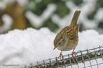 Accenteur mouchet dans la neige