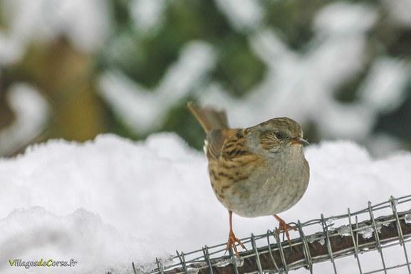 Oiseau neige Accenteur Mouchet Oiseaux à