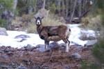 Mouflon femelle