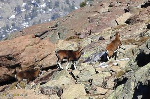 Mouflon asco
