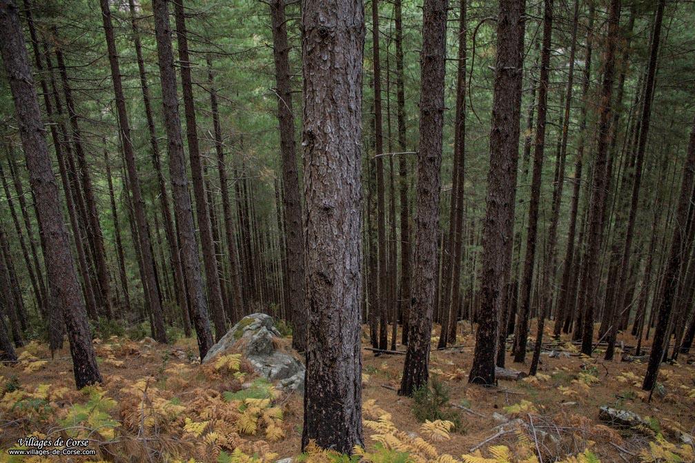 Forêt - Cervellu - Venaco