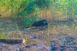 Cochon lac de Creno