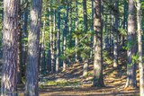 Forêt pins lac de Creno