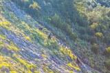 Chevres sauvage montagne corse vero